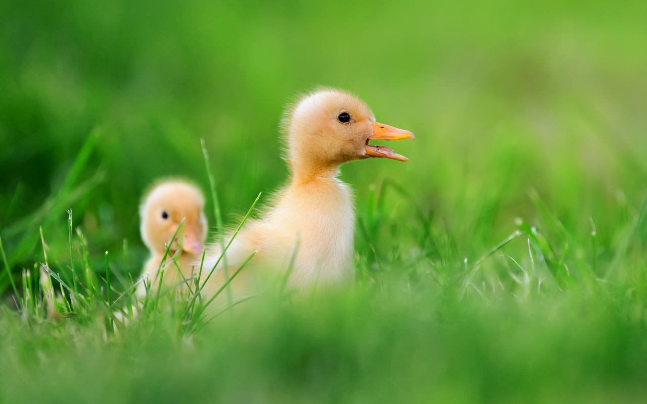 鴨子的壽命可以多久呢?