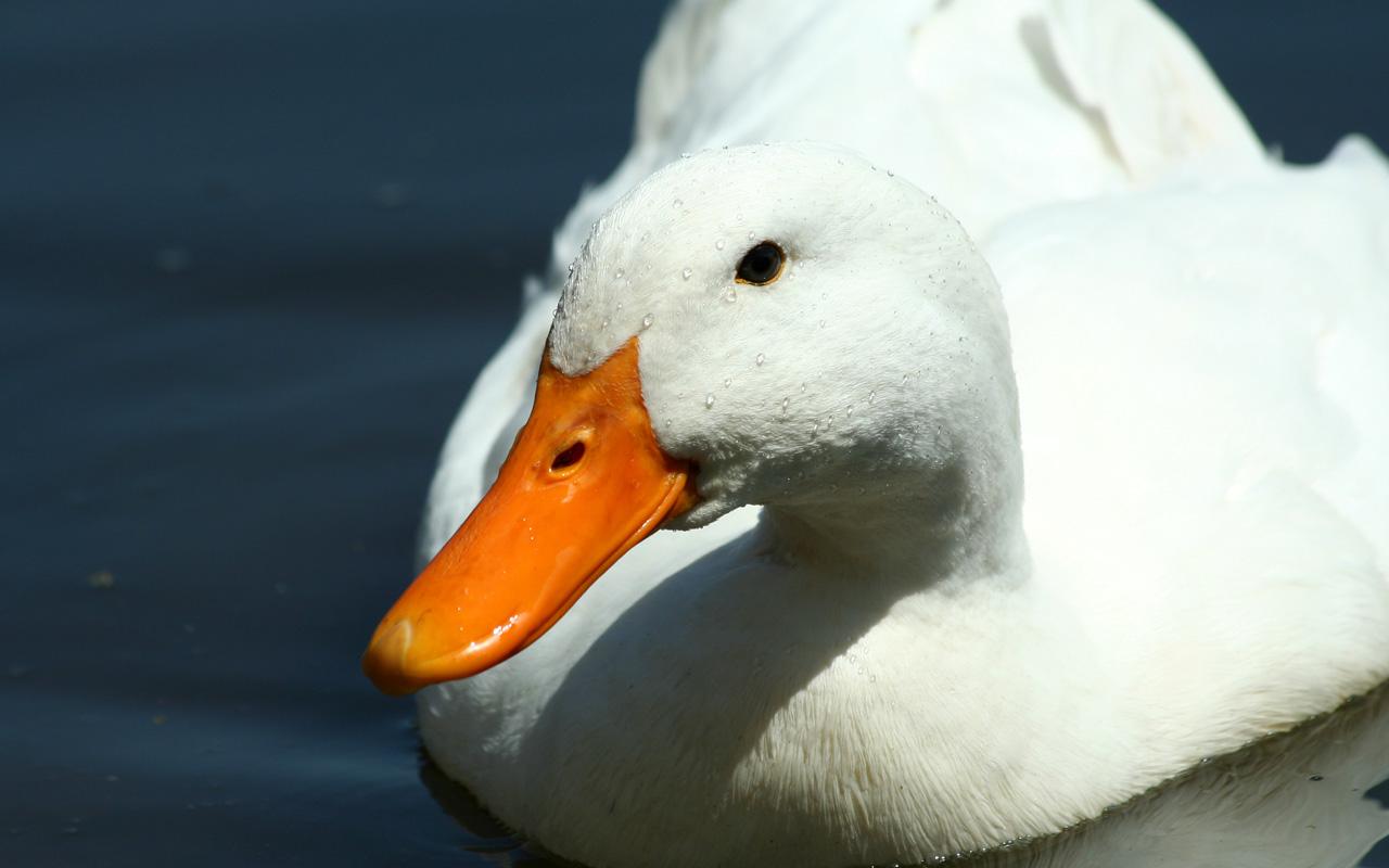 鴨子如何進食?