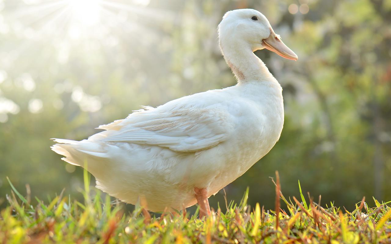 鴨子外型有哪幾種特徵?